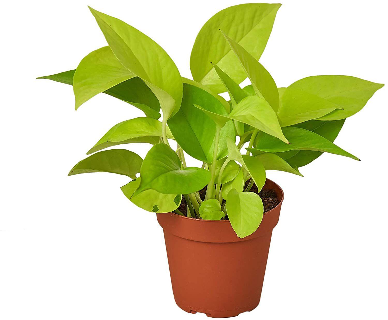 Neon pothos in grower's pot