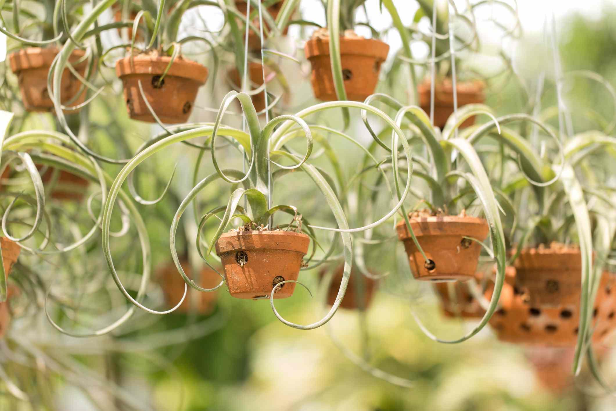 Air plants hanging on display