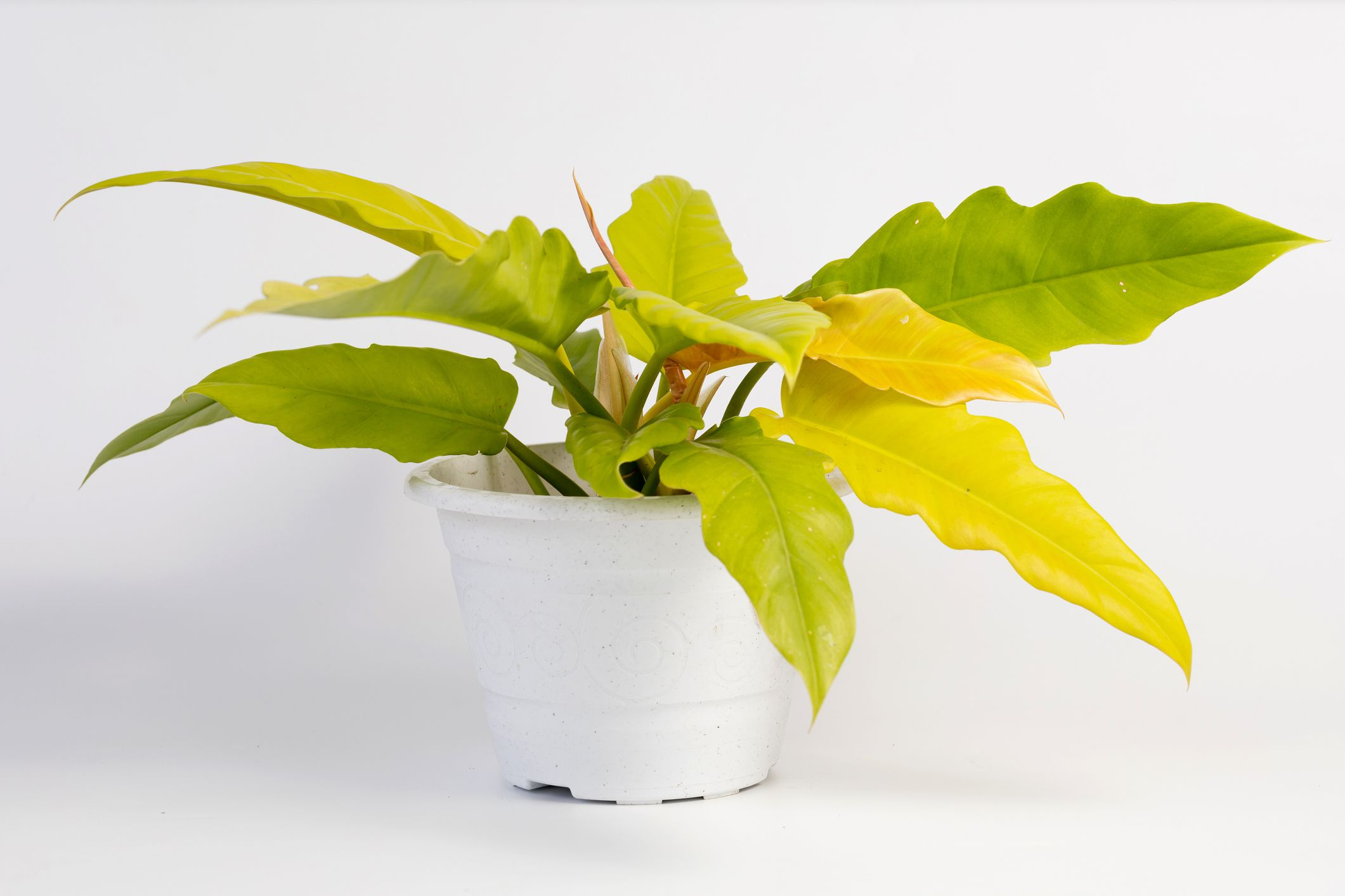 philodendron golden ring of fire in white pot on white background