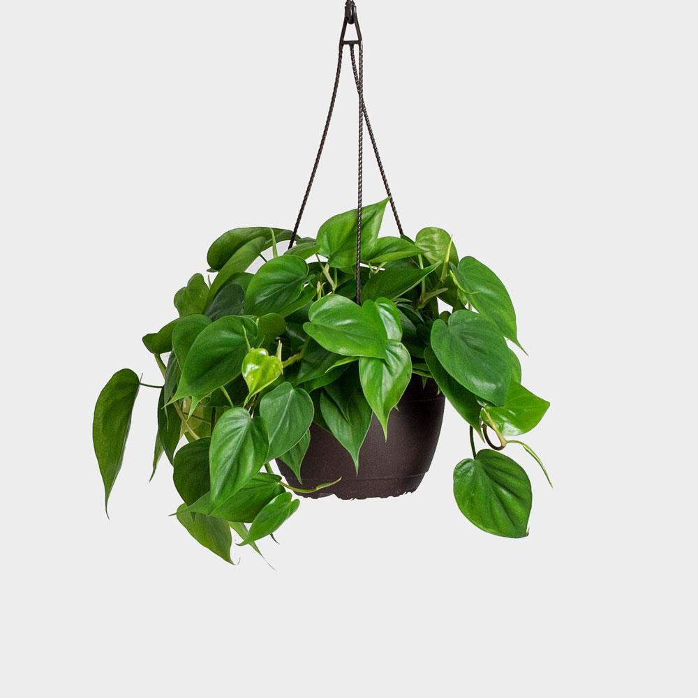 Heartleaf Philodendron in a black hanging planter