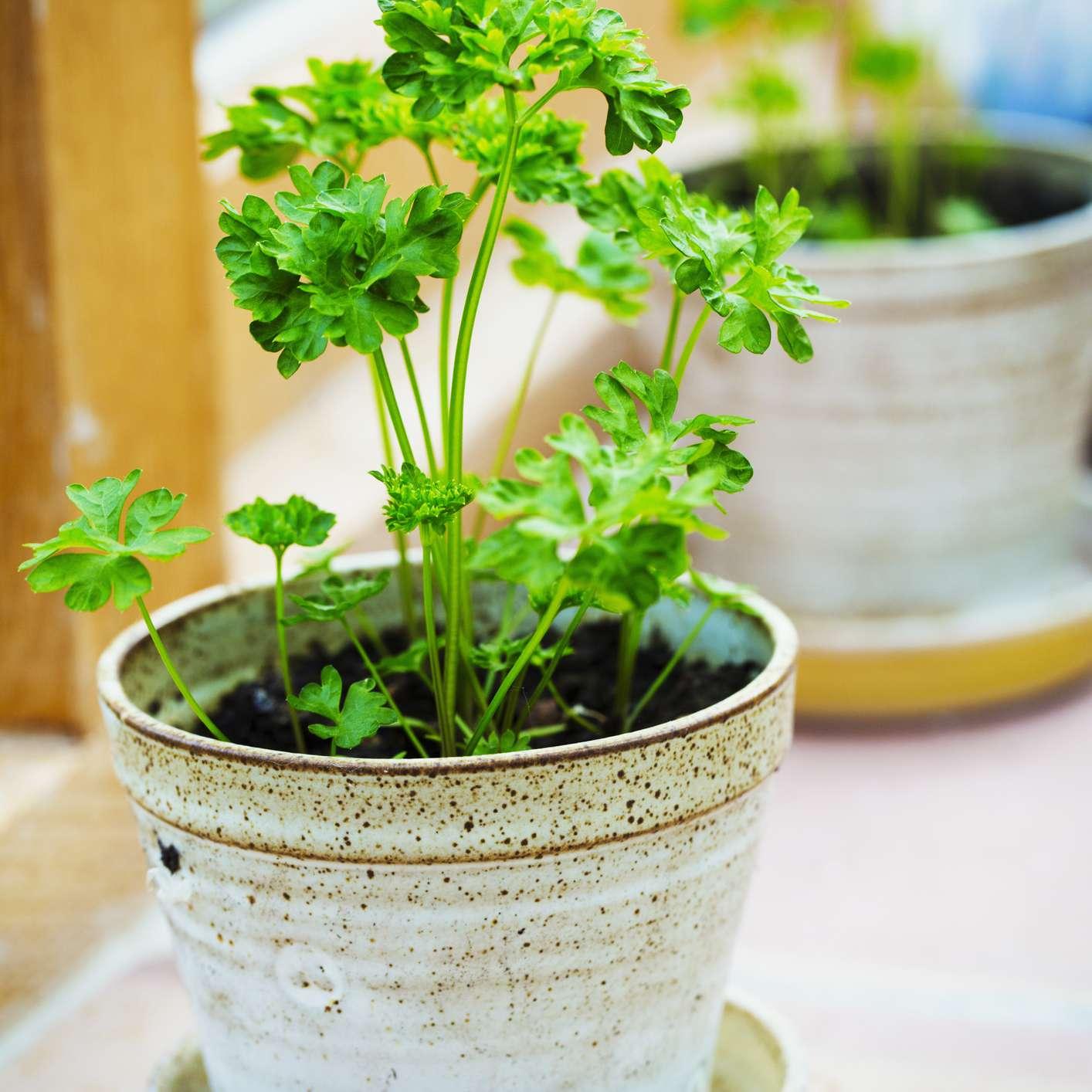 parsley plant growing in pot on windowsill