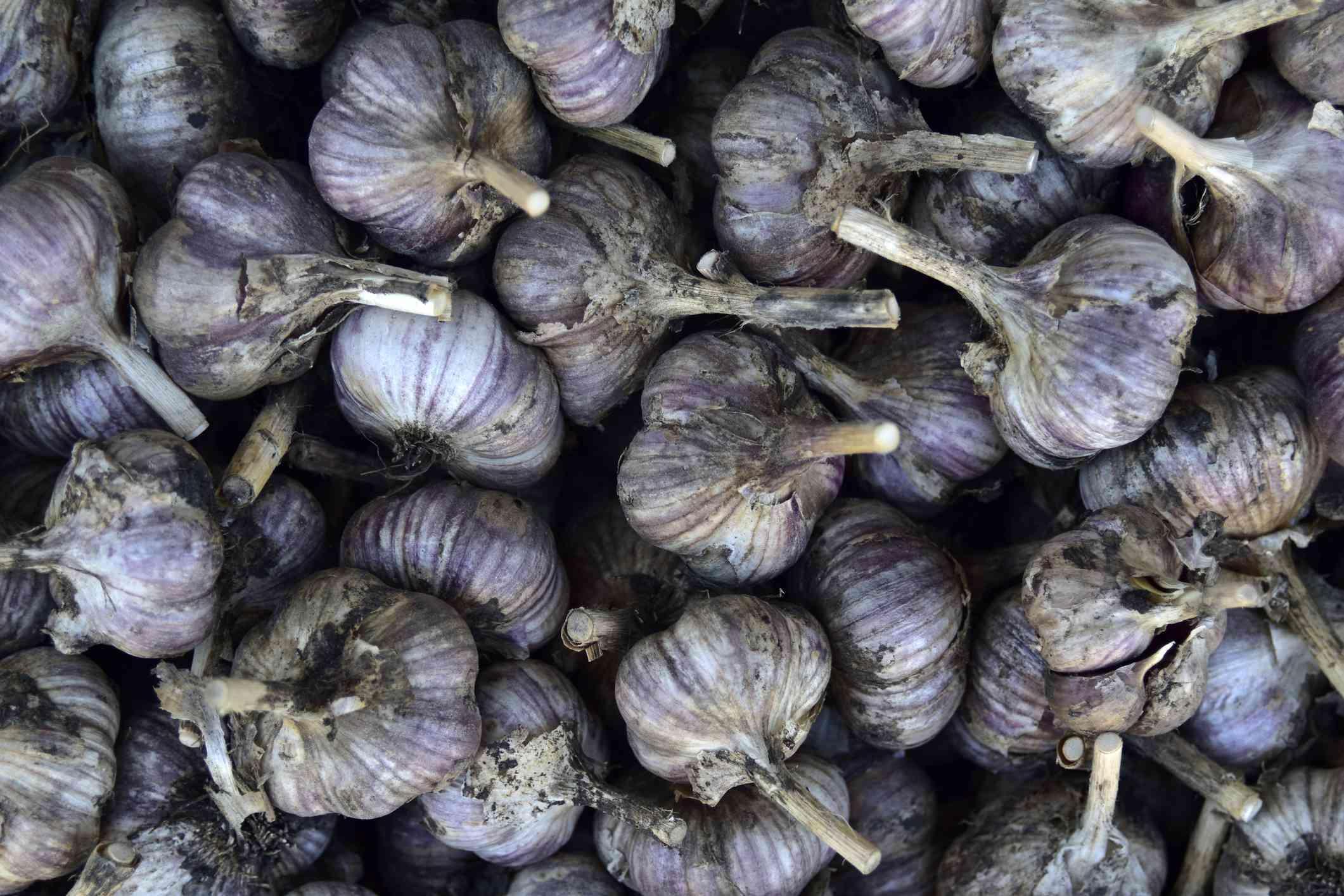 pile of purple garlic bulbs