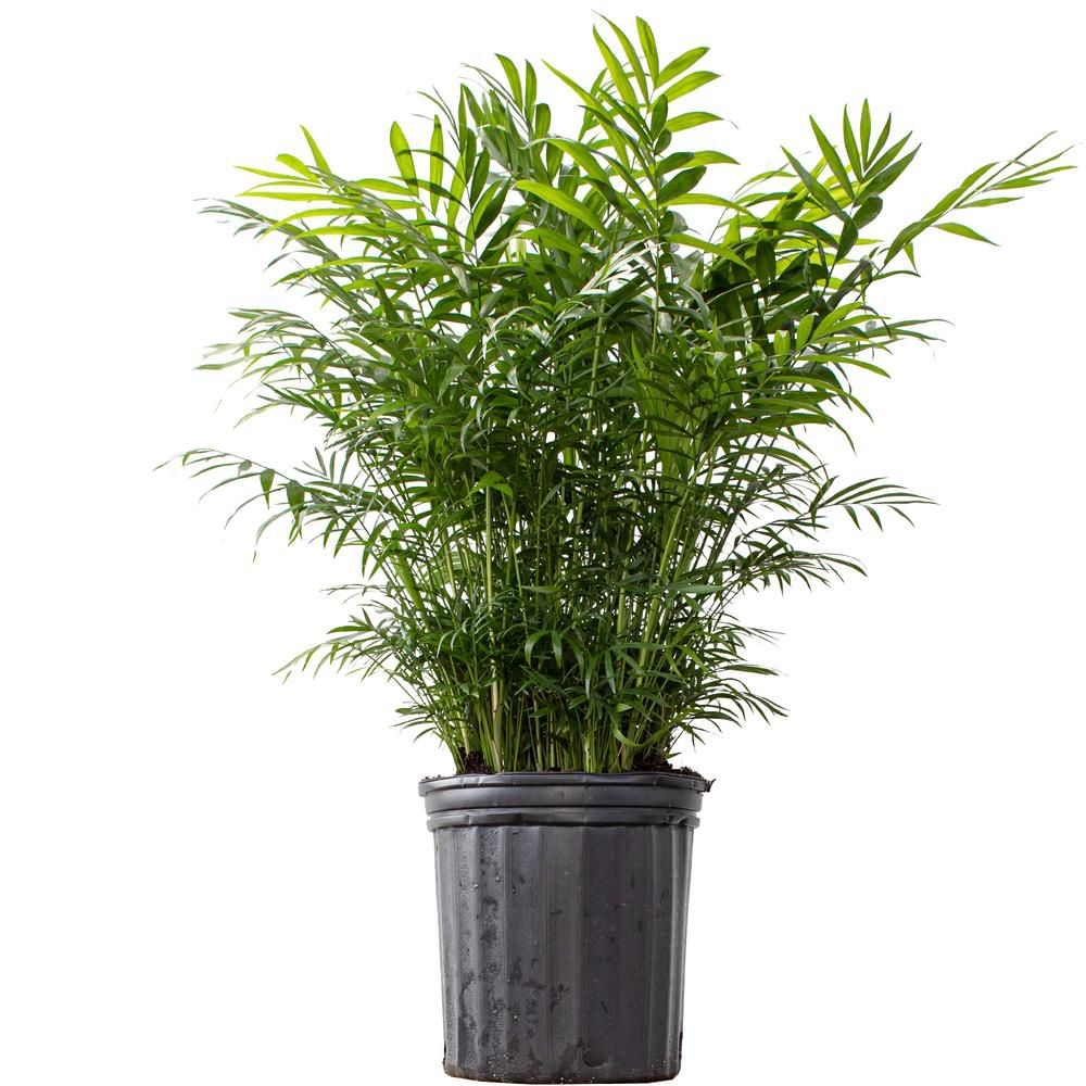 Parlor palm in grower's pot.