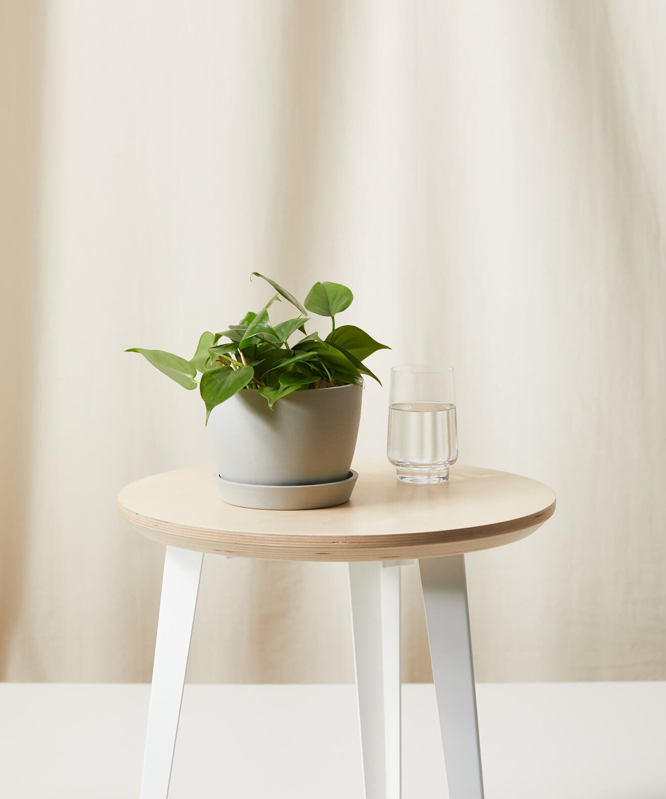 Heartleaf philodendron in a white pot on a table next to a glass of water