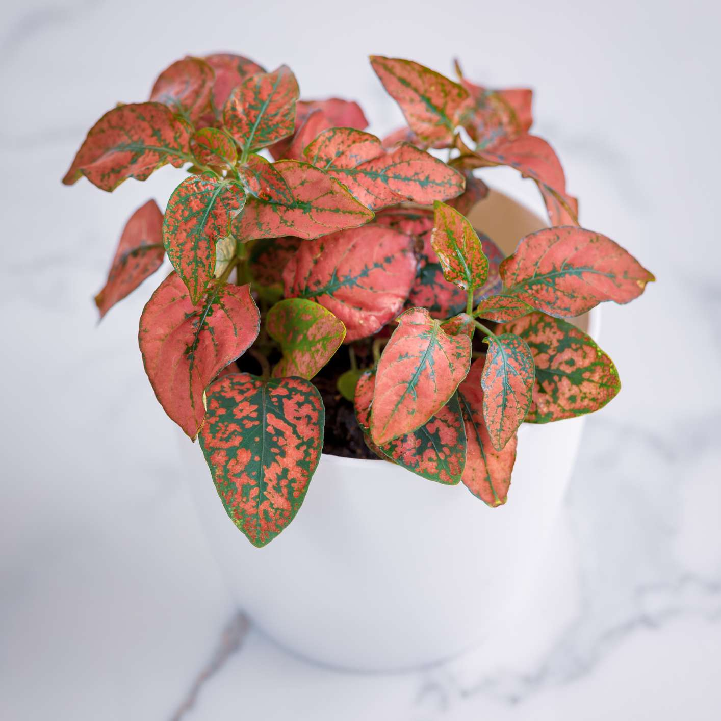 pink and green polka dot plant in white pot on marble background