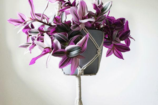 Tradescantia nanouk with pink, green, and white leaves in gray pot in white macrame hanger against white background