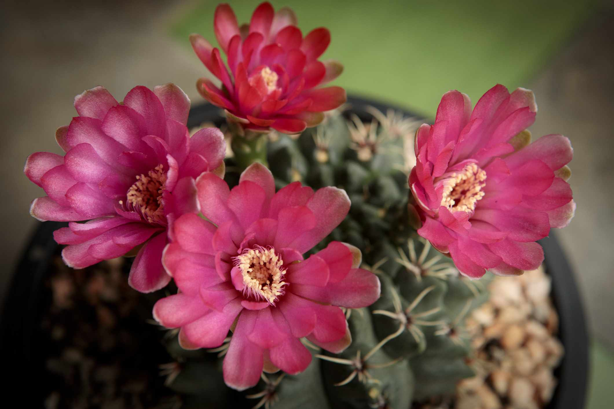 closeup of bright red flowers on green spiny dwarf chin cactus