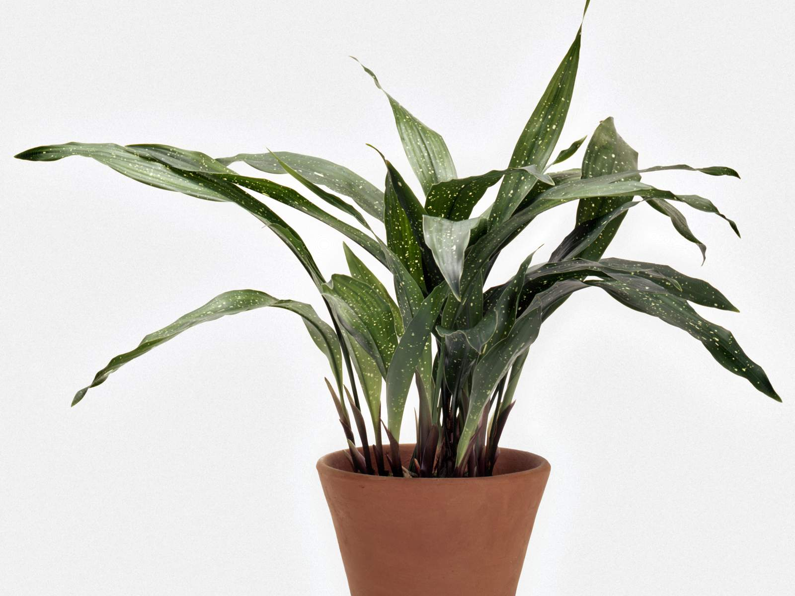 Cast Iron Plant (Aspidistra relation)