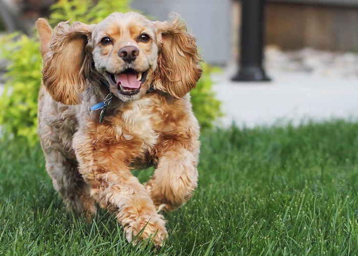 Razas de perros medianas: Cocker Spaniel