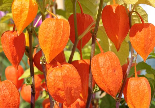 Chinese lantern plants with bright orange husks, light green leaves and purple stems growing in the sun outdoors