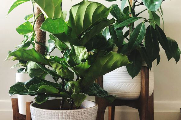 Umbrella plant growing in pot indoors