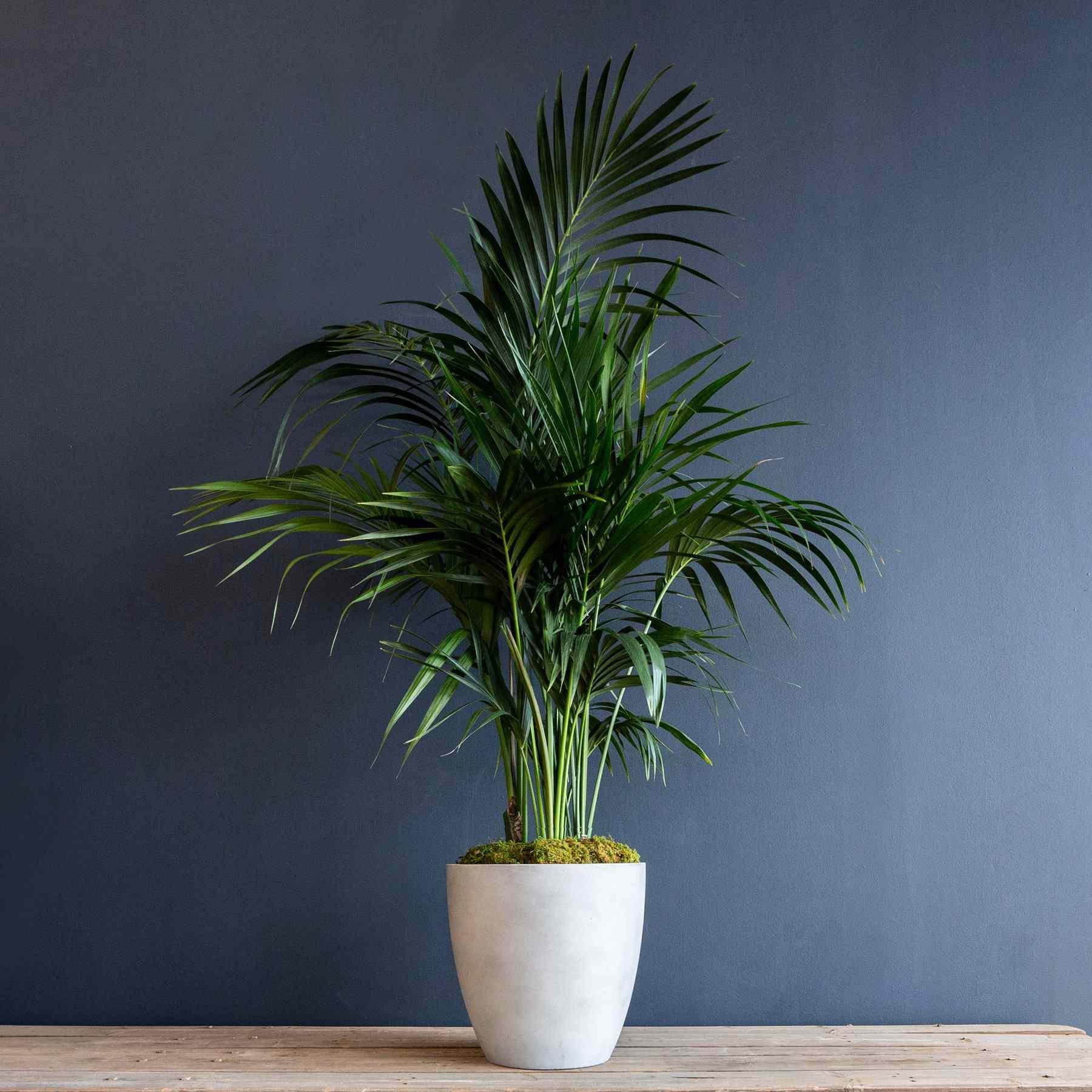 Kentia Palm in a white planter against a blue wall