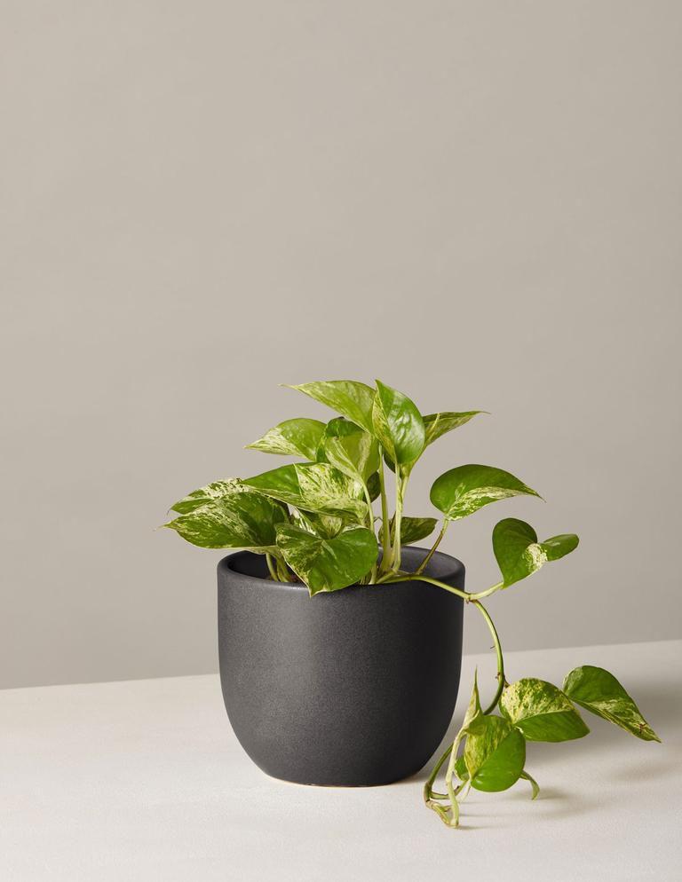 Queen marble pothos in black pot