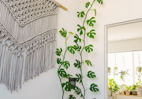 rhaphidophora tetrasperma vine growing up corner of white wall with woven tapestry and bed and plants in background